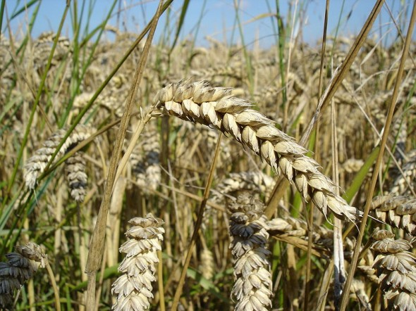 Geneticky modifikovaná pšenice